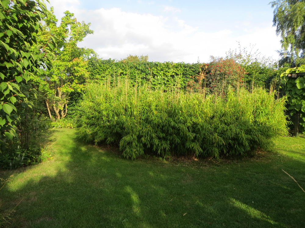 Bambu omfamnar