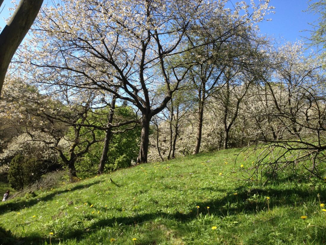Körsbärsträd vid entrén. turbo 2014 – vi tre & trädgÃ¥rd
