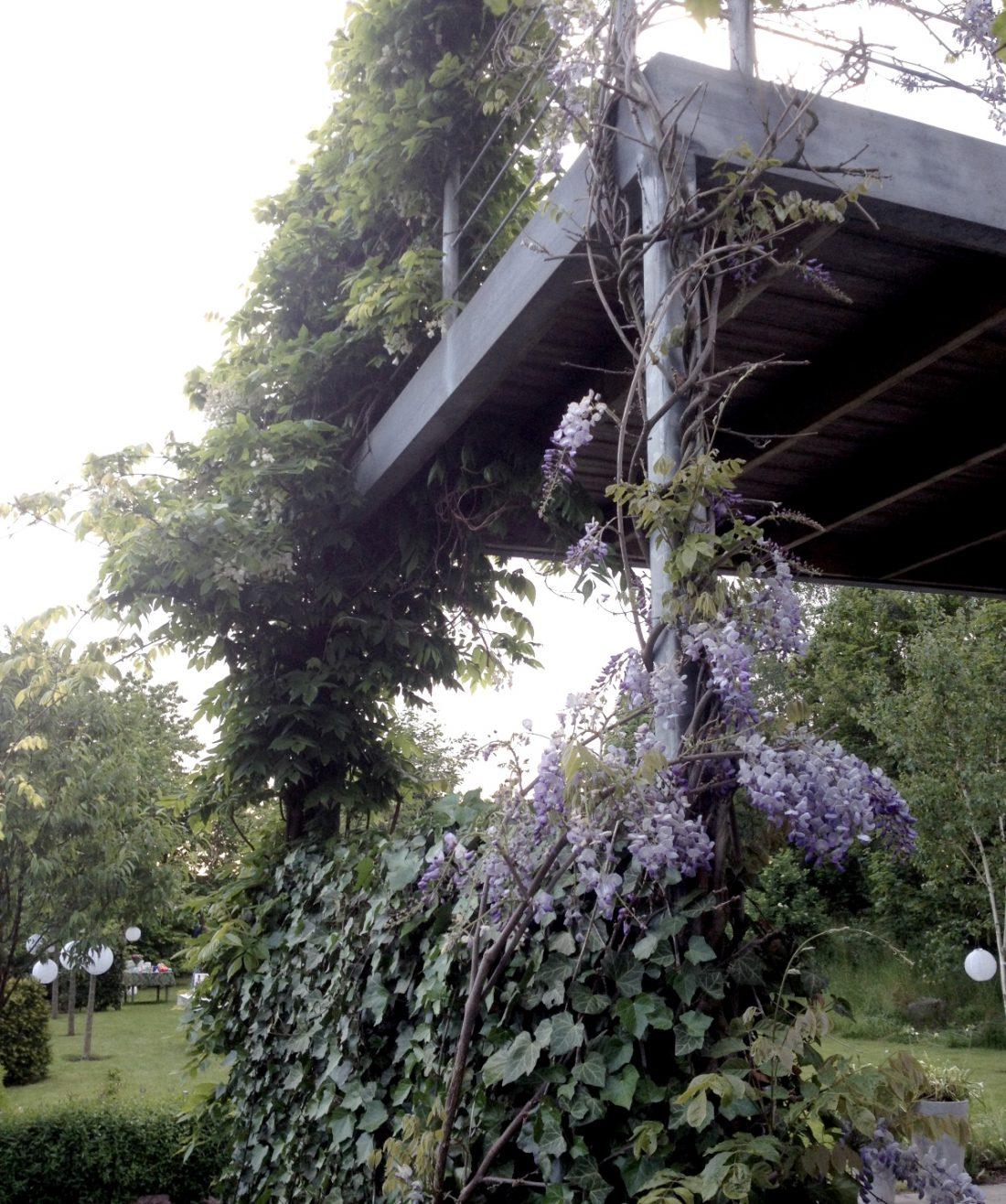 wisteria-mot-balkong