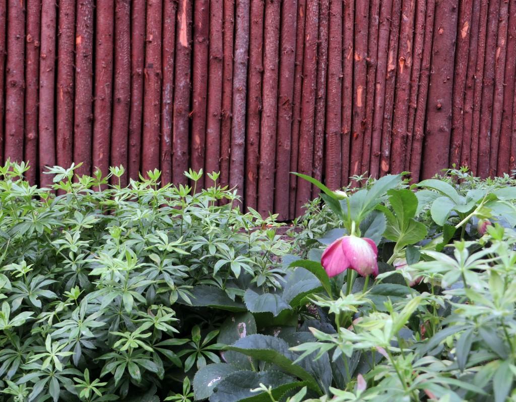 Trädgårdsrum med Myskmadra framför staket av gran